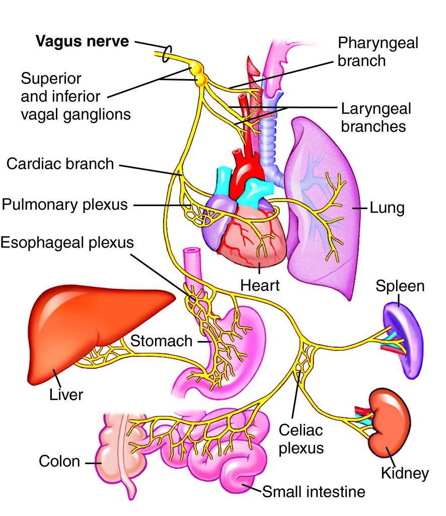 brain gut vagus